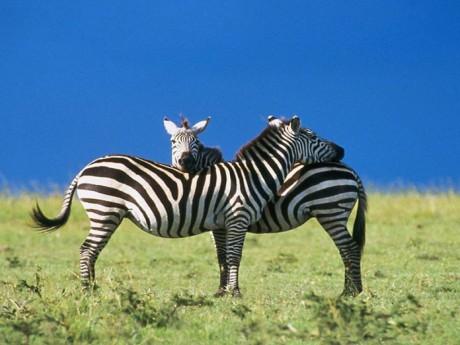 Žirafy a zebry